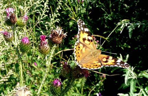 Kratzdistel mit Schmetterling