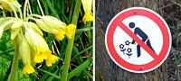 Schlüsselblume - Pflücken verboten